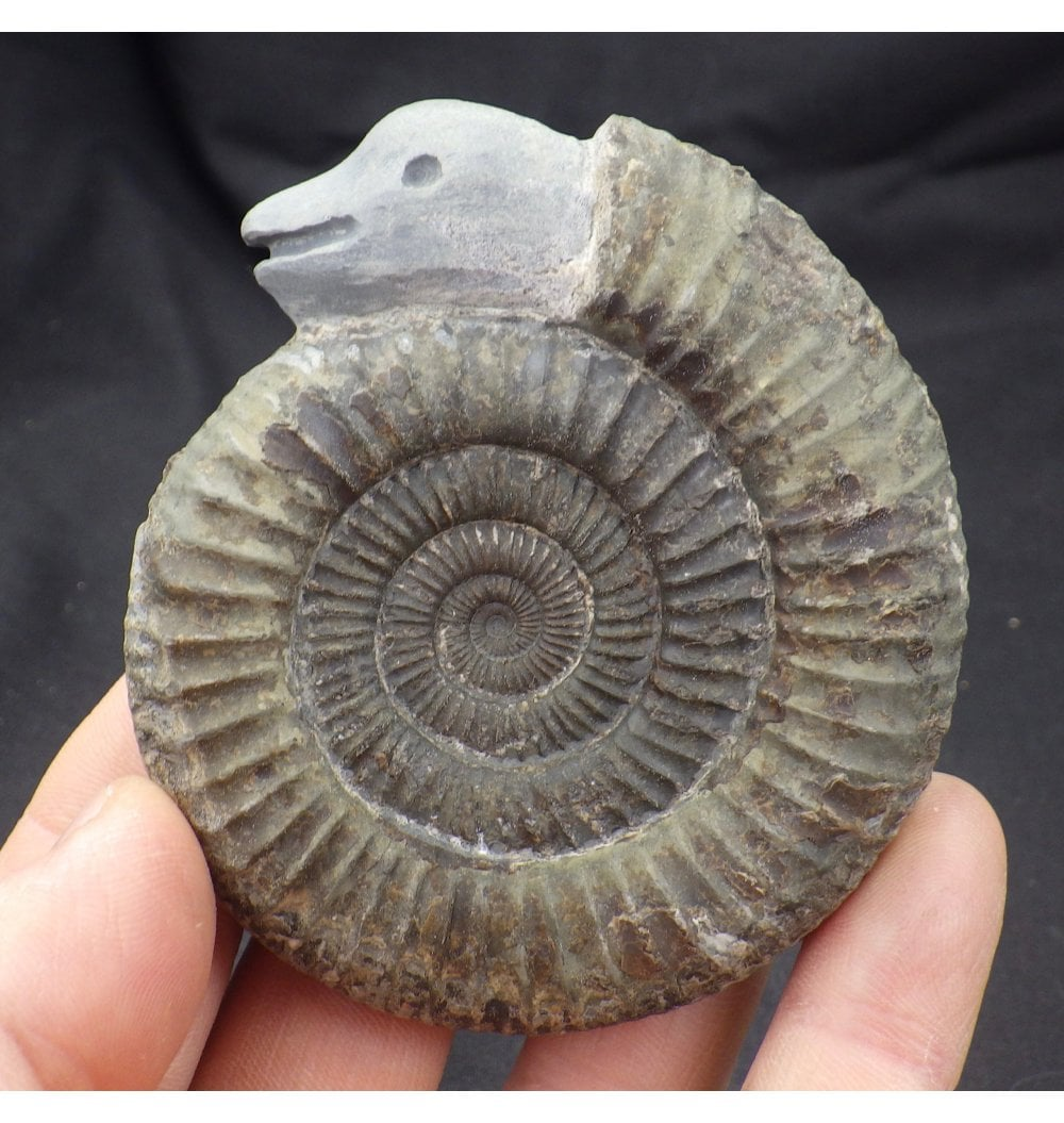 Whitby Yorkshire Natural Ammonite Fossil Gift